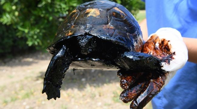 Zift içindeki 3 kaplumbağa kurtarıldı